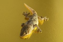 Gray Gecko Lizard Royalty Free Stock Images