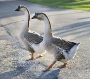 Gray Geese Foto de archivo