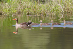 Gray geese anser anser family with four fledglings offspring Royalty Free Stock Photos