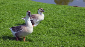 Gray geese resting on green grass stock video