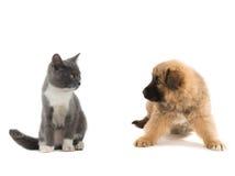 Gray giallo del gattino e del cucciolo, Immagini Stock