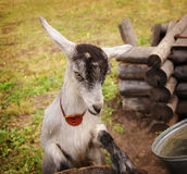 Gray goat asking for food. A young, gray goat stood on his hind legs and asking for food Stock Image