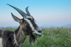 Gray goat chews the grass in the field. Close-up, portrait Royalty Free Stock Photography