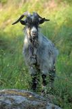 Gray goat among green grass,. A farm Royalty Free Stock Images