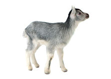 Gray Goat Isolated Stock Image