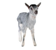 Gray goat isolated Royalty Free Stock Image