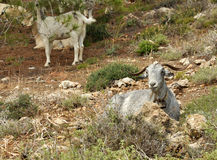 A Gray Goat Relaxing on the Ground Stock Photos