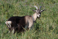 Gray goat standing in the green grass Stock Photo