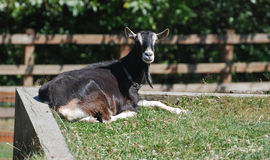 Gray goat in the sunshine Stock Images