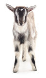 Gray goat. Royalty Free Stock Images