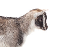 Gray goat. Royalty Free Stock Image