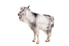 Gray goat on white Stock Photos