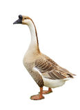 Gray goose. Isolated on white Stock Images