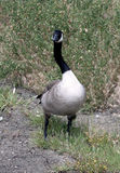 Gray Goose. With crooked neck stock images