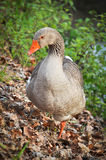 Gray goose Stock Photos