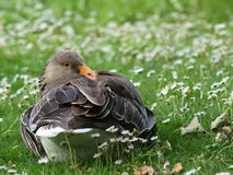 Gray goose. Resting on grass in park royalty free stock photos