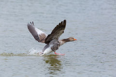 Gray goose anser anser running on the water surface Royalty Free Stock Photos