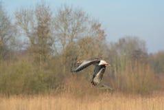 gray goose Stock Photography