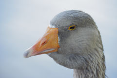 Gray Goose. Stock Photo
