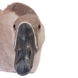 Gray goose closeup Royalty Free Stock Photos