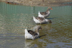 The gray goose is domestic. Homemade gray goose. Homemade geese in an artificial pond Stock Image
