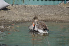 The gray goose is domestic. Homemade gray goose. Homemade geese in an artificial pond Stock Photos