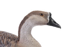 Gray goose Stock Photo