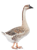 Gray goose Royalty Free Stock Photos