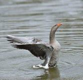 Gray Goose Stock Photo