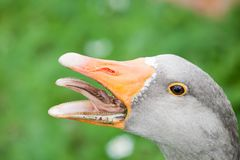 Gray goose head with open beak and fearful teeth closeup view. On green grass summer outdoor background royalty free stock image