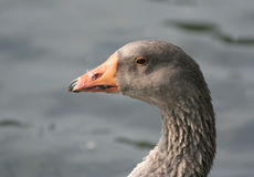 Gray Goose Head Shot Fotografia Stock