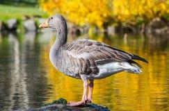 Gray Goose Stock Image