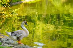 Gray goose Royalty Free Stock Photography