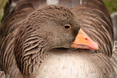 Gray Goose Royalty Free Stock Images