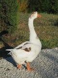 Gray Goose loopt langs de weg royalty-vrije stock foto