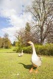 Gray goose on a meadow Stock Photos