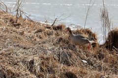 Gray goose in the nature reserve. A Gray goose in the nature reserve Stock Photo