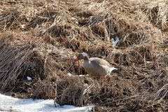 Gray goose in the nature reserve. A Gray goose in the nature reserve Royalty Free Stock Photos