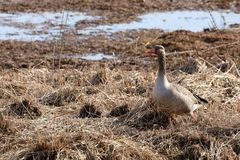 Gray goose in the nature reserve. A Gray goose in the nature reserve Royalty Free Stock Images