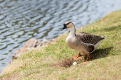 Gray goose near nest with egg. Close to lake Stock Photo
