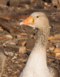 Gray goose Stock Photography