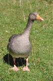 Gray Goose sauvage Photo libre de droits