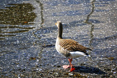 A gray goose on the shore. A gray goose on the seashore Stock Photography