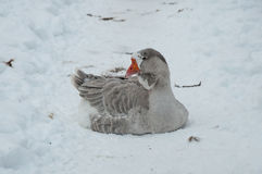 Gray goose in the snow Stock Photography