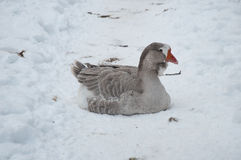 Gray goose in the snow Royalty Free Stock Photo