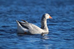 Gray Goose Swimming on a Pond royalty free stock images