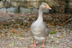 gray goose walking in farm at thailand