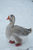 Gray goose in winter. Gray goose with red beak and legs standing on winter snow Royalty Free Stock Images