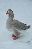 Gray goose in winter. Gray goose with red beak and legs standing on winter snow Royalty Free Stock Photo