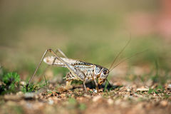 Gray grasshoper macro Royalty Free Stock Photo
